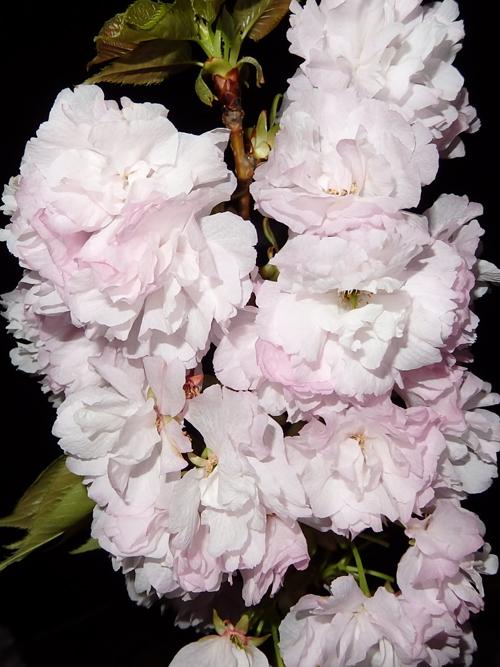 26桜小2