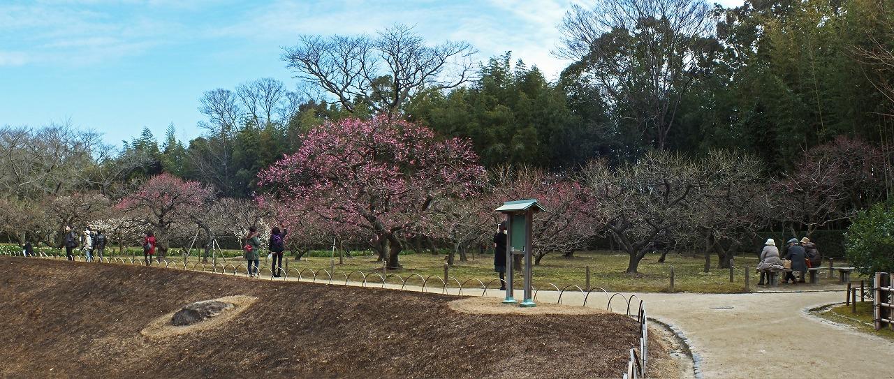 s-20150216 後楽園梅林の今日の紅梅の様子ワイド風景 (1)