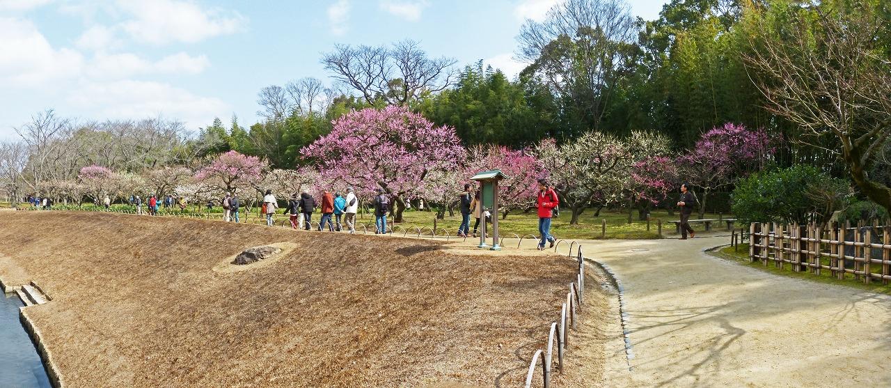 s-20150228 後楽園2月末日の梅林の梅の花の様子ワイド風景 (1)