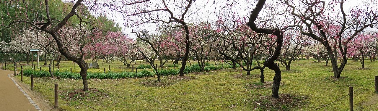 s-20150303 後楽園梅林の今日の様子ワイド風景 (1)