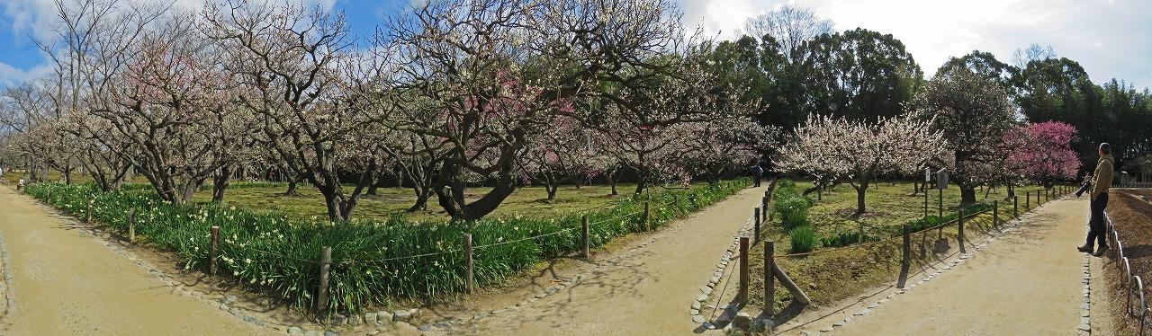 s-20150305 後楽園今日の梅林の梅の花の様子ワイド風景 (1)
