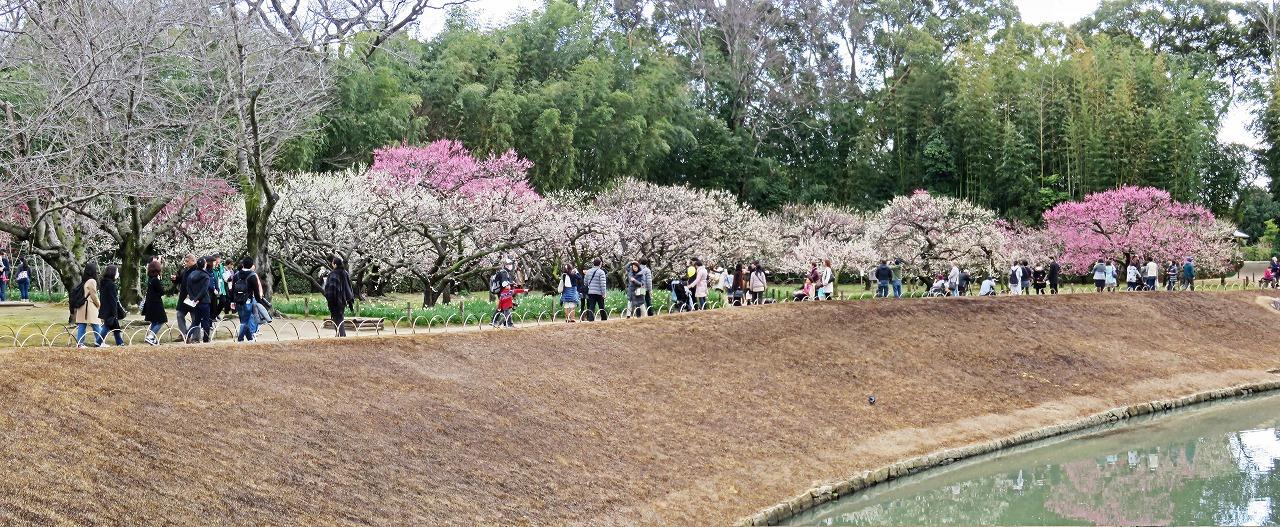 s-20150308 後楽園梅林の日曜日の梅の花観賞の様子ワイド風景 (1)