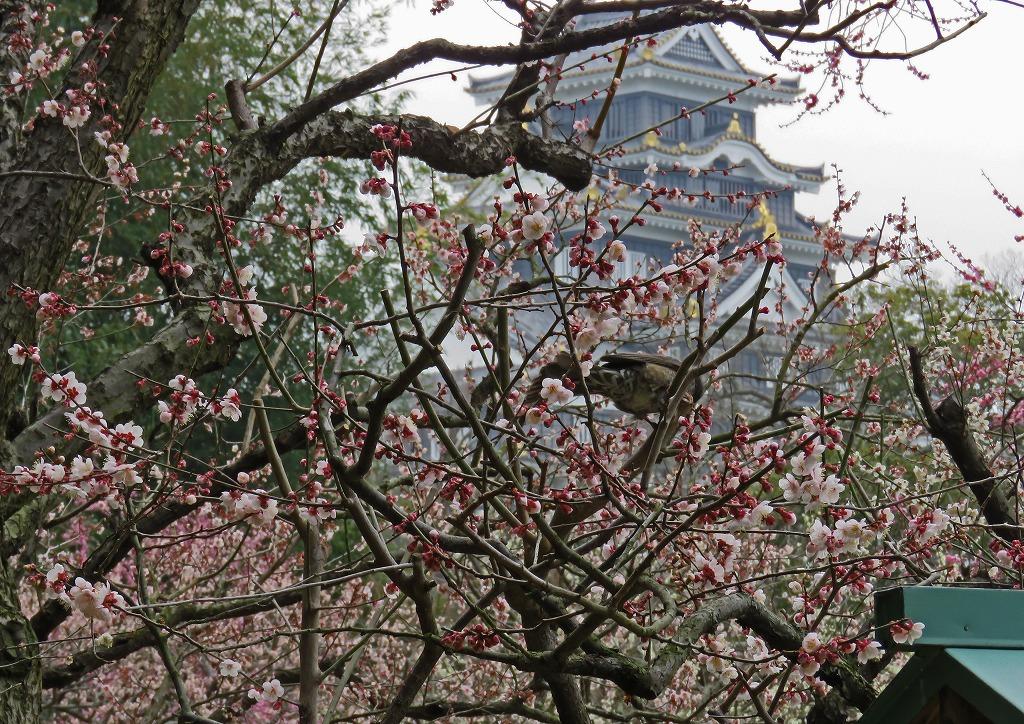 s-20150316 後楽園梅林の今日の様子 (1)
