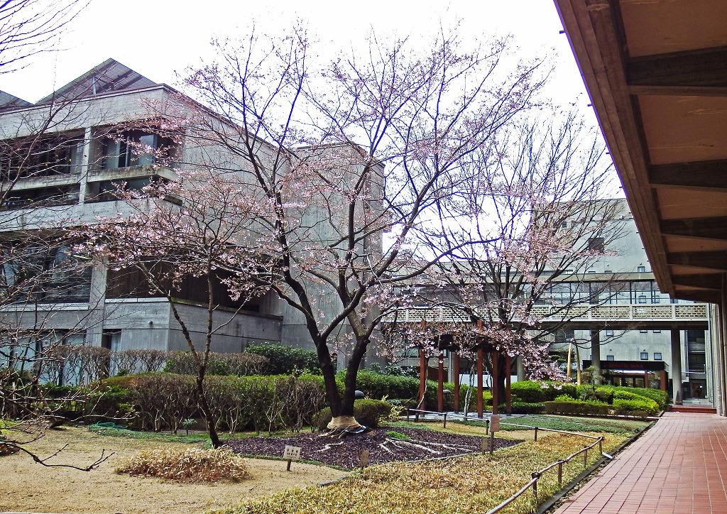 s-20150319 岡山県庁の今日の午後の醍醐桜 (1)