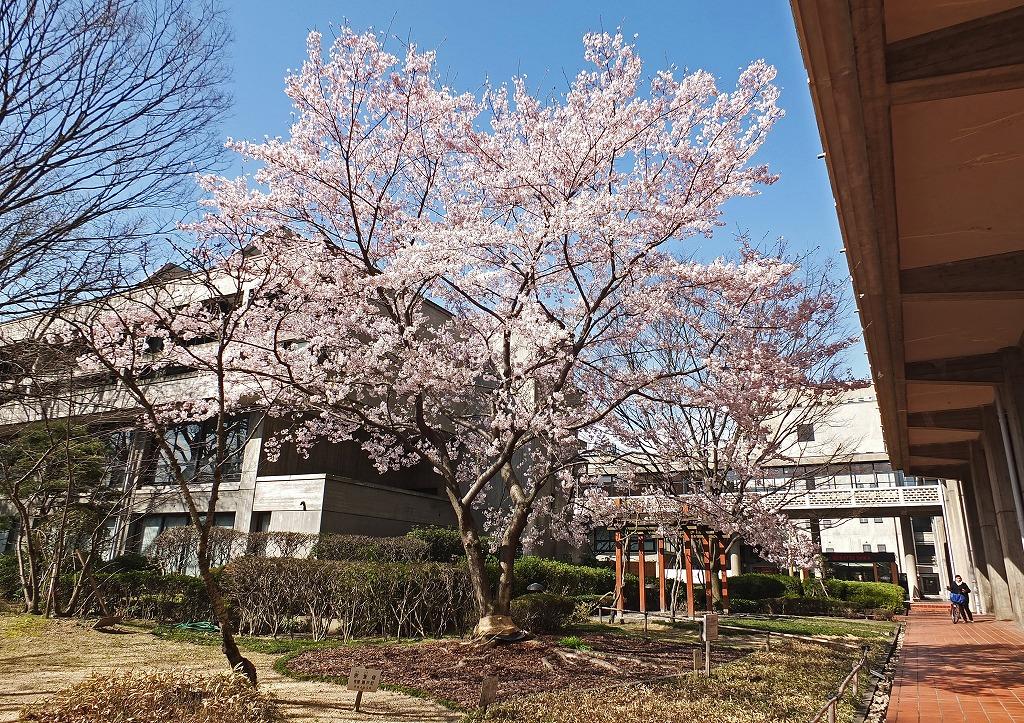 s-20150323 岡山県庁の醍醐桜満開の様子 (1)