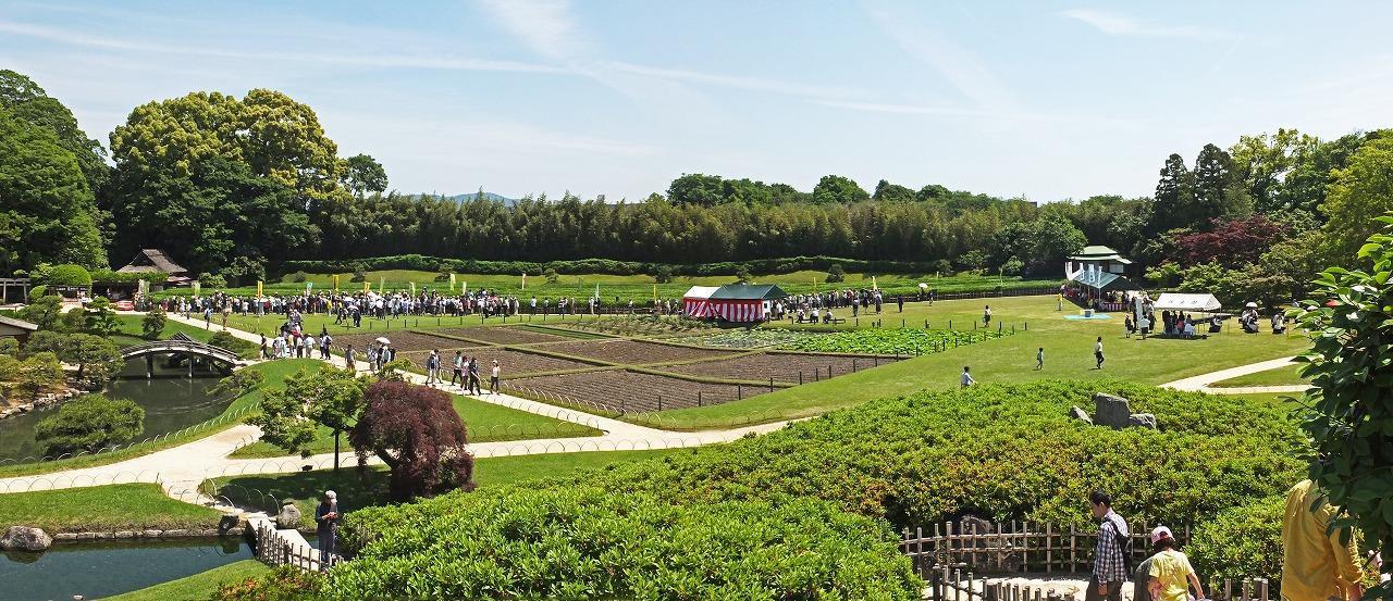 s-20150517 後楽園今年の茶摘みの様子ワイド風景 (1)