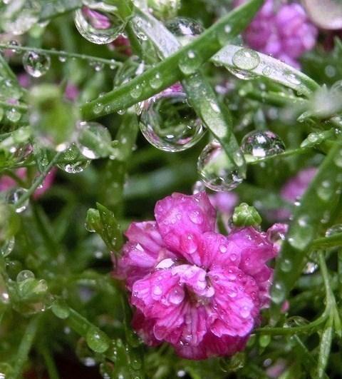 かすみ草に雨の雫