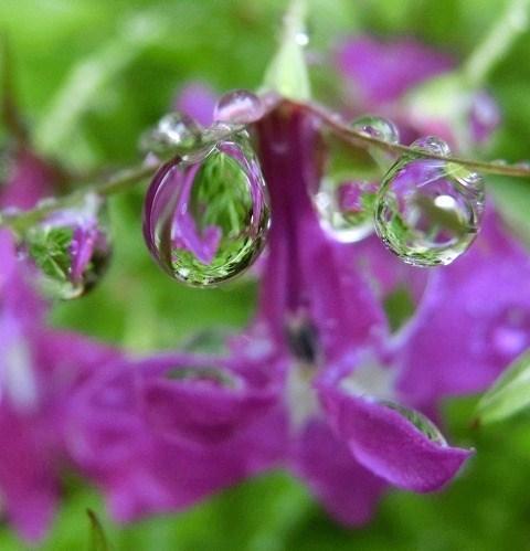 ロベリアに雨の雫