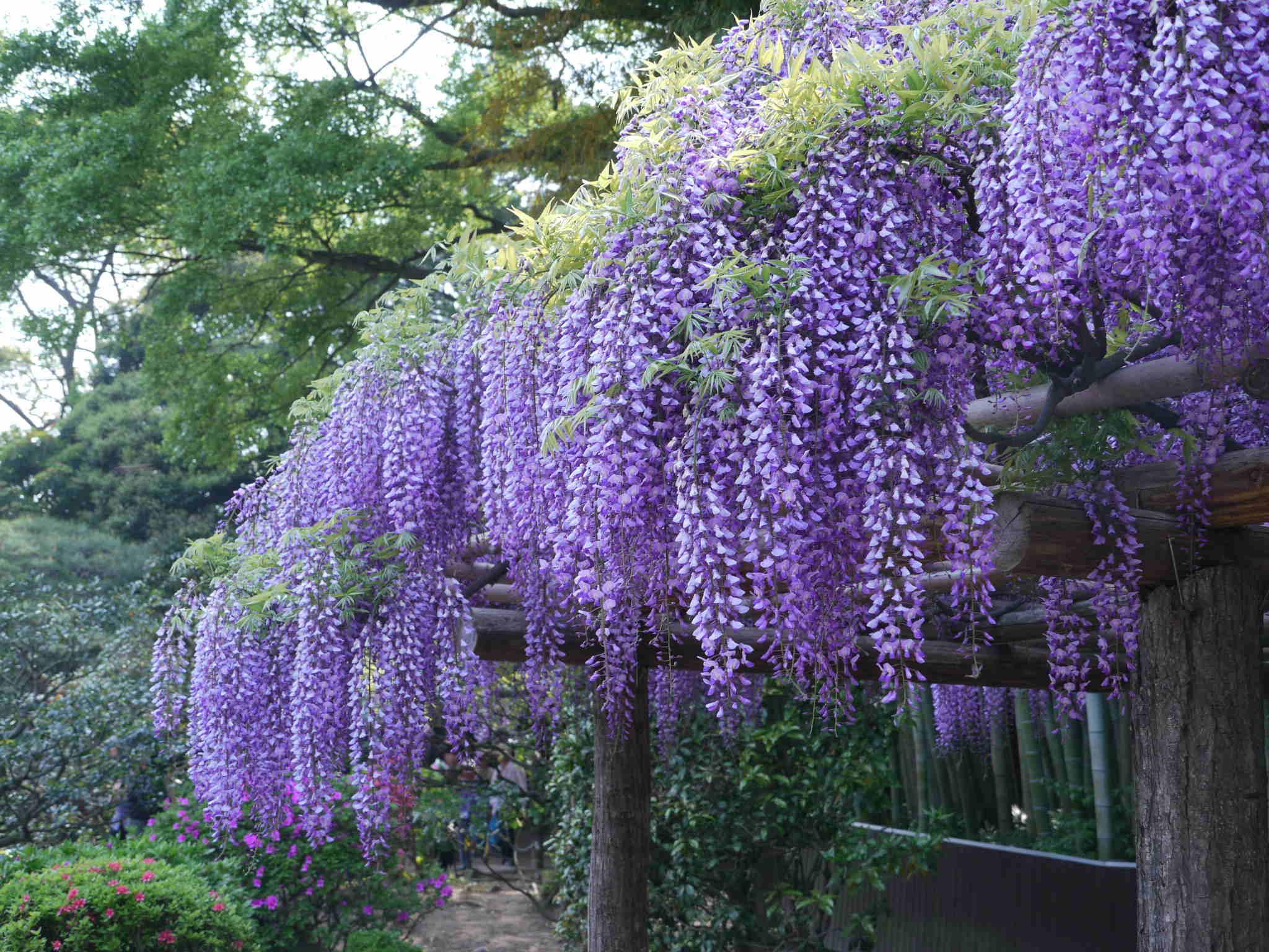 五月 藤の花
