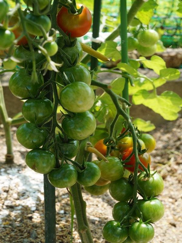 豊作ミニトマト