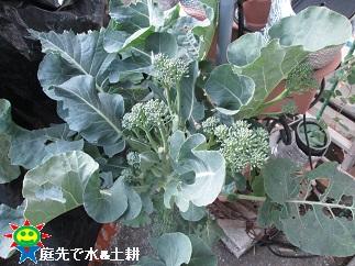 1・25茎ブロッコリー