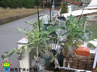 茎ブロッコリー2・22