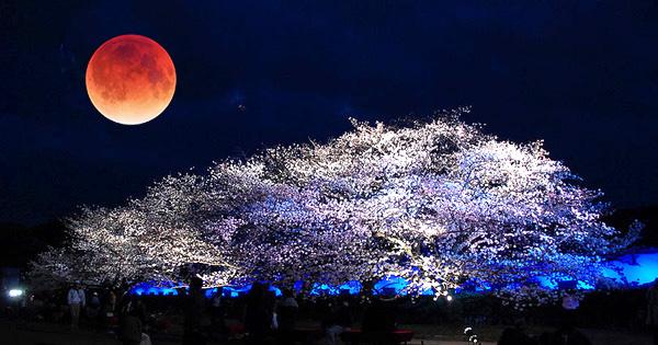 皆既月食と夜桜