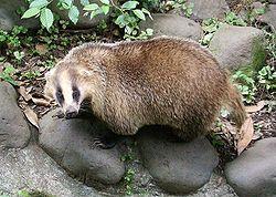 250px-Meles_meles_anakuma_at_Inokashira_Park_Zoo.jpg