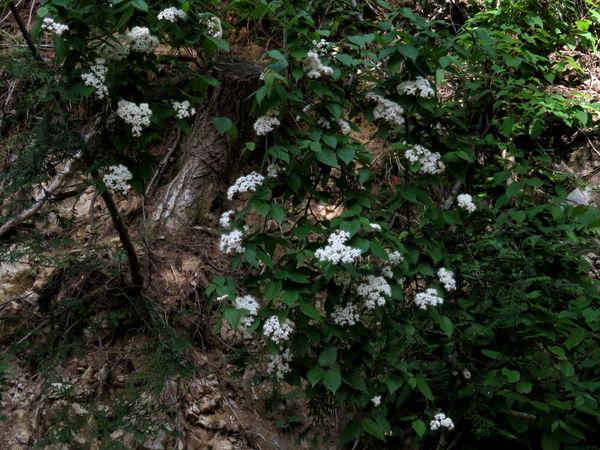 小葉のガマズミ20150503-1-a