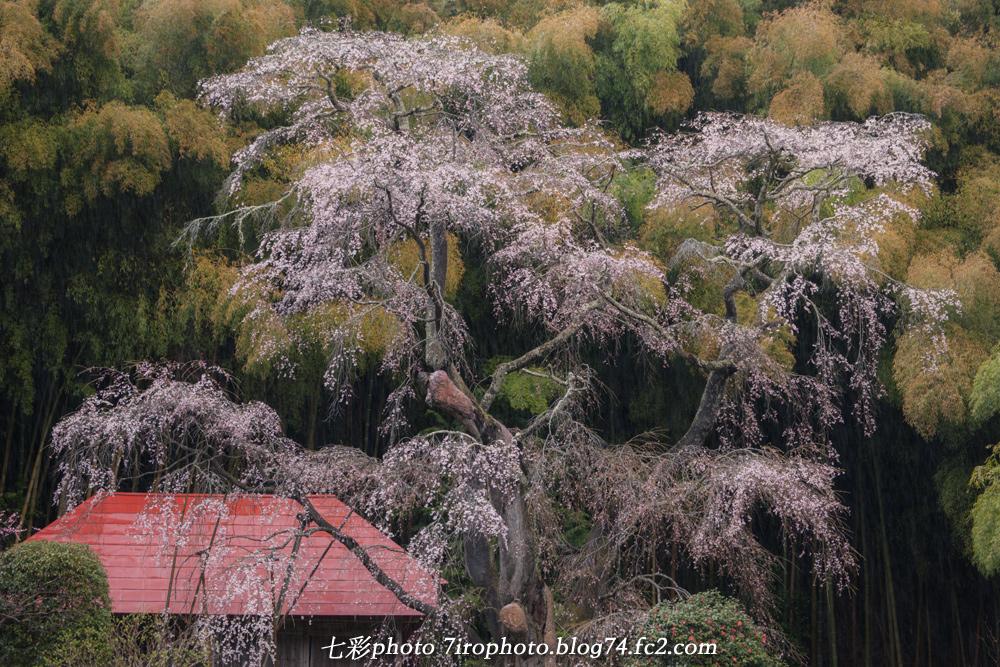 04-11-15_三春桜_0165_edited-1