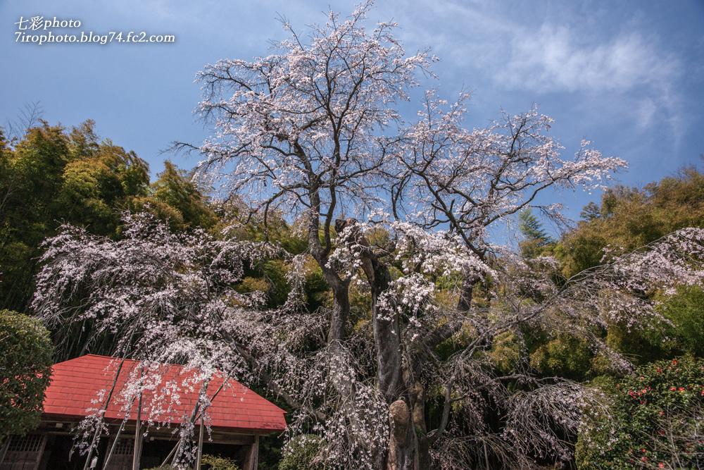 04-12-15_三春桜_0118