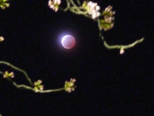 桜と月食1