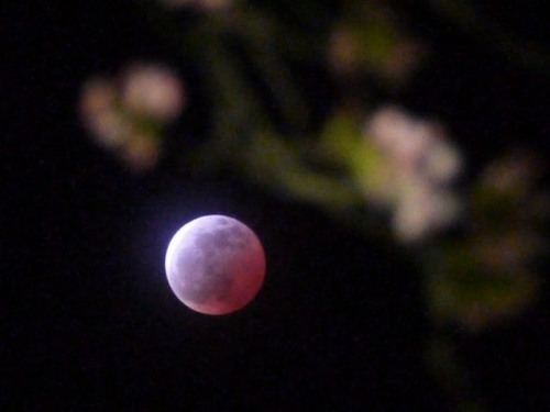 桜と月食3