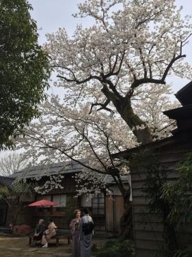 2015-04-12桜の木