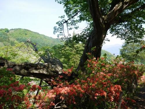 アカシデの巨木
