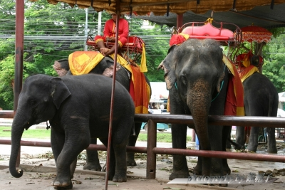 201307Thai-Ayutaya-Elephants.jpg