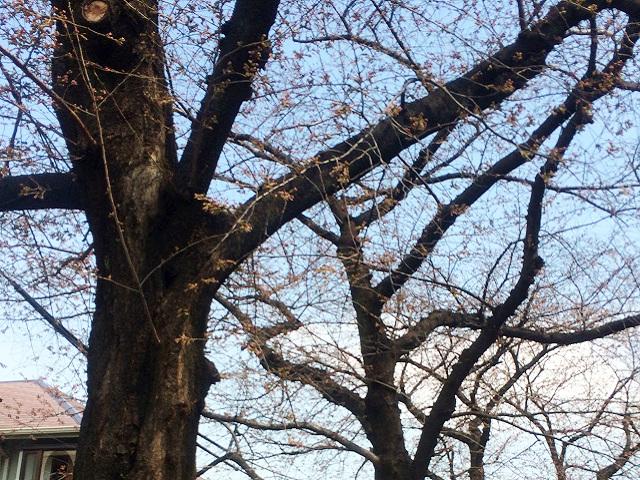 2015年東京桜開花1 by占いとか魔術とか所蔵画像