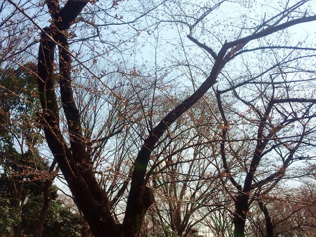 2015年東京桜開花2 by占いとか魔術とか所蔵画像