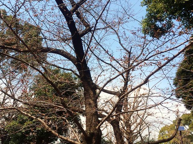 2015年東京桜開花3 by占いとか魔術とか所蔵画像