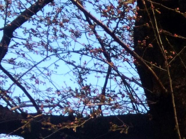 2015年東京桜開花4 by占いとか魔術とか所蔵画像
