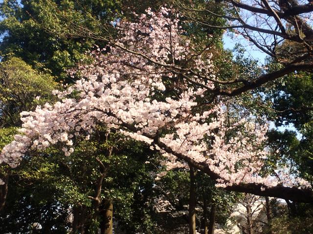 2015年3月30日東京の桜が遂に満開2 by占いとか魔術とか所蔵画像