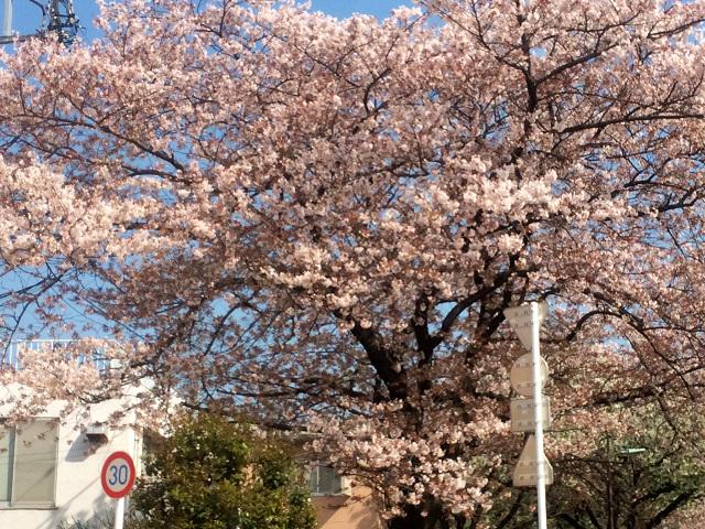 2015年4月6日東京の桜1 by占いとか魔術とか所蔵画像