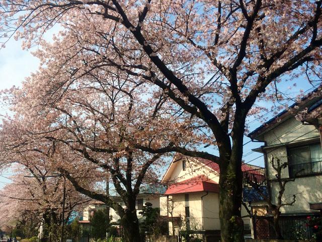 2015年4月6日東京の桜2 by占いとか魔術とか所蔵画像