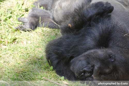 千葉動物公園 ゴリラ GORILLA の写真 01