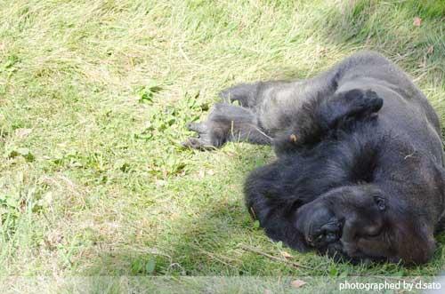 千葉動物公園 ゴリラ GORILLA の写真 02