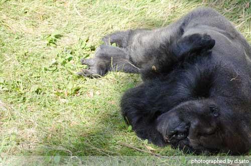 千葉動物公園 ゴリラ GORILLA の写真 03