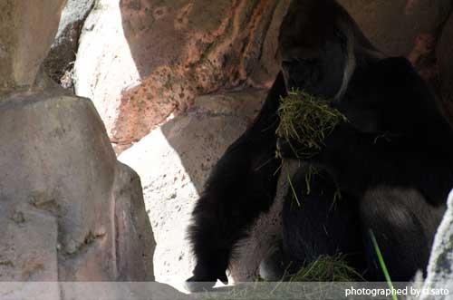 千葉動物公園 ゴリラ GORILLA の写真 04