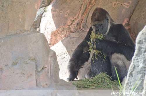 千葉動物公園 ゴリラ GORILLA の写真 05