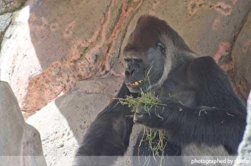 千葉動物公園 ゴリラ GORILLA の写真 06