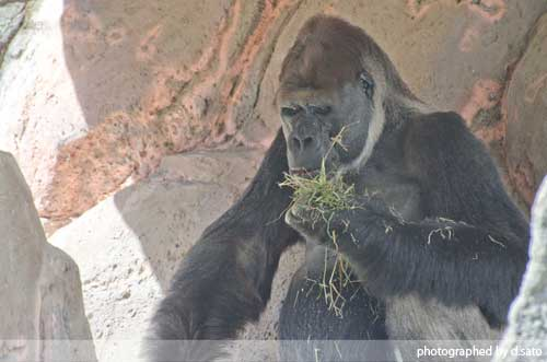 千葉動物公園 ゴリラ GORILLA の写真 07