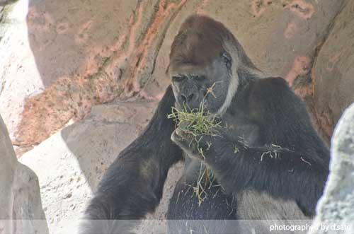千葉動物公園 ゴリラ GORILLA の写真 08