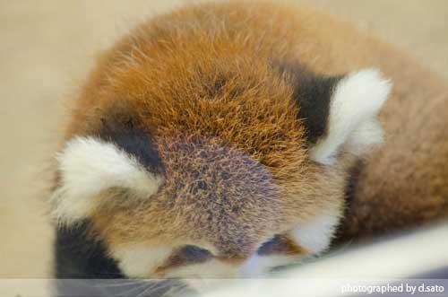 レッサーパンダの赤ちゃん 01