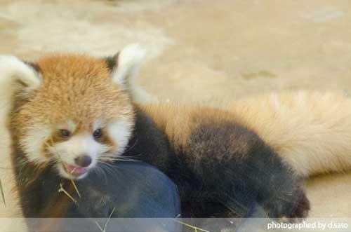 レッサーパンダの赤ちゃん 02