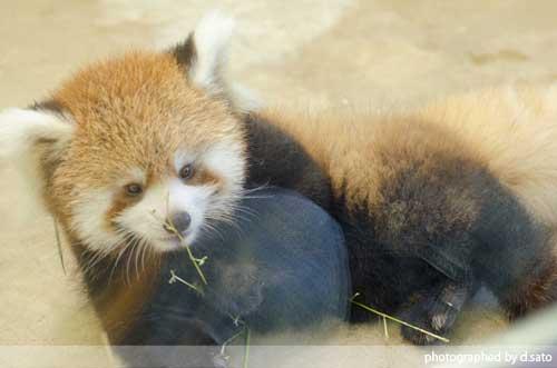 レッサーパンダの赤ちゃん 03