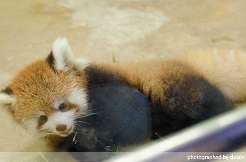 レッサーパンダの赤ちゃん 07