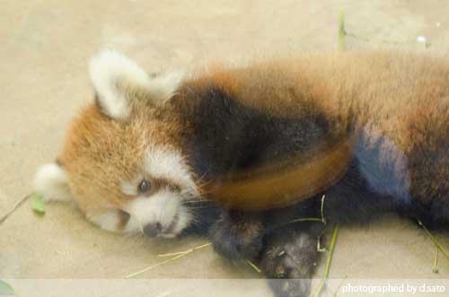 レッサーパンダの赤ちゃん 10