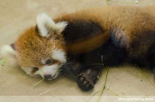 レッサーパンダの赤ちゃん 11