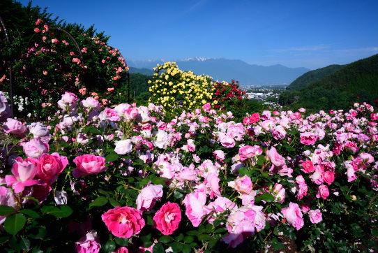 鮮やかなピンク色のバラ