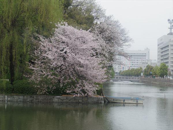 桜咲く堀端を行く