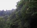 クマノミズキの目立つ森